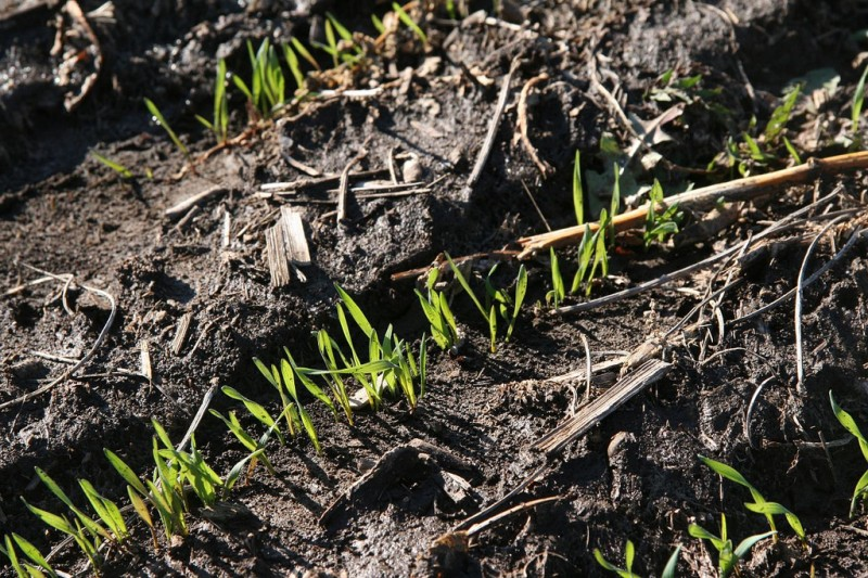 close up of rye sprouts in a field