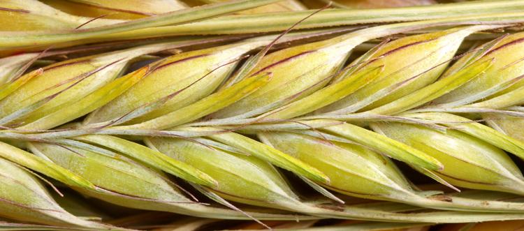 close up of a grain