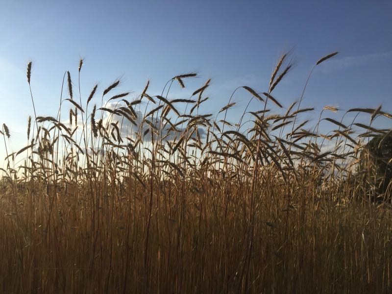 zilke rye field