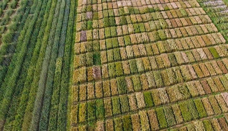grain trials